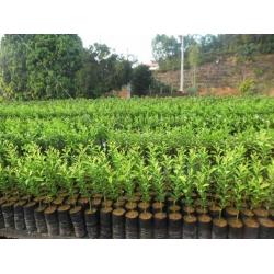 Plantones de Citricos